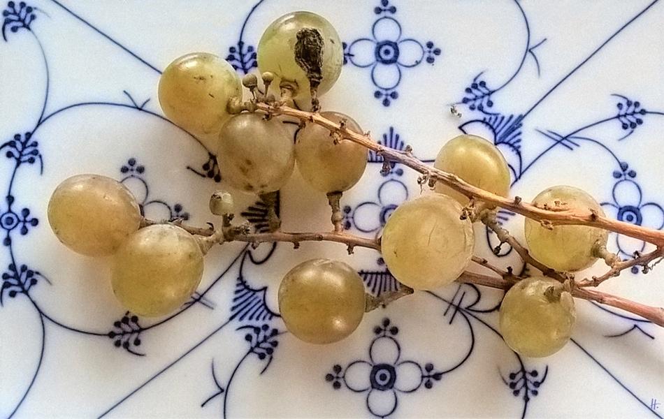 2018-11-20 Lüchow, Garten, Mittags, die letzten 'Spanischen' Trauben auf 'Indisch Blau'